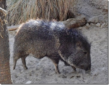 Javelina at the Living Desert