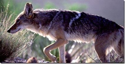 Big Bend Coyote