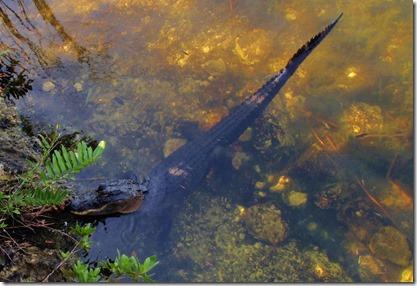 Alligator on Big Pine Key