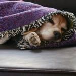 Snuggled In Beagle