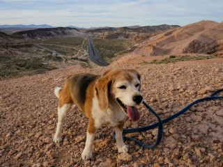 Angie the Beagle in Red Rock Canyon State Park California