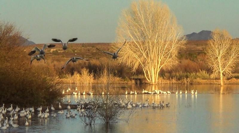 cibola-nwr-snow-geese-in-flight