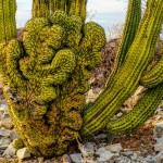 Crested Organ Pipe Cactus