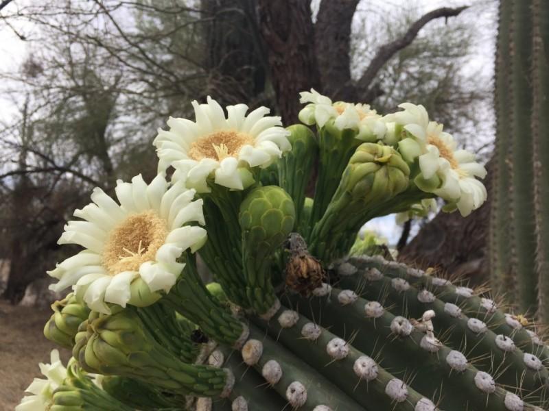 saguaro-bloom